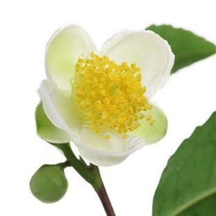 Çay Çiçeği