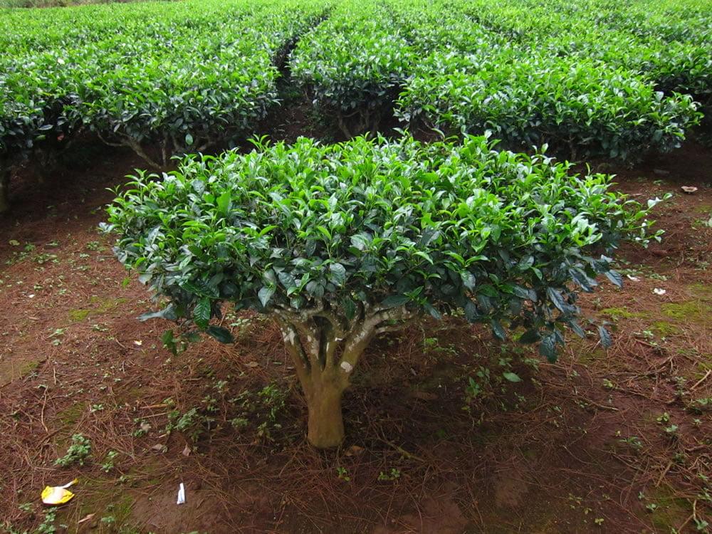 kulturize-edilmis-cay-bitkisi-Camellia-sinensis-tea-plant