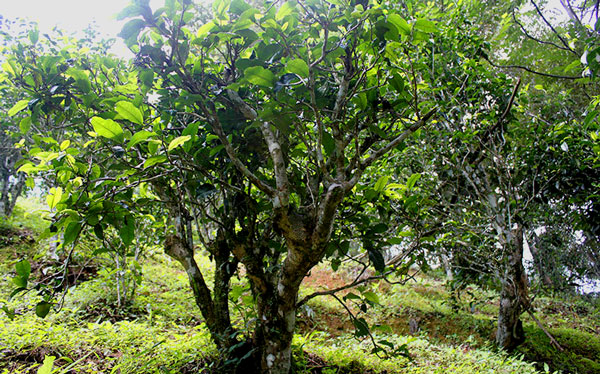 cay-agaci-ancient-tea-tree