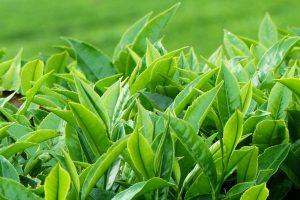 cay-bitkisi-tea-plant