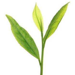 Nitelikli Çay Yaprağı